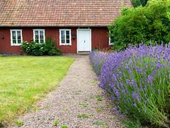 Bstad, June 29, 2016 (Ulf Bodin) Tags: garden canoneos5dmarkiii sverige lavandulaangustifolia swedishsummer canonef35mmf14liiusm sweden italienskavgen scandinavian lavender bstad lavendel skneln se