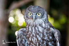 2016_09_23_0601-1 (ImagesbyAB) Tags: australiazoo barkingowl bird individual male wildlife