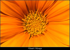 Sun - Flower (Daniele Marongiu) Tags: fiore nettare petali giallo arancio pistilli vegetazione macro cagliari sardegna italia flower nectar petals yellow orange pistils plants sardinia italy