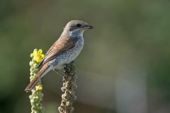 Red Backed Shrike (Artisanart) Tags: red backed shrike bird nature wildlife east sussex tidemills