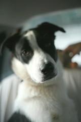 Marley (dmcst) Tags: dog puppy portrait portraiture canon5d 5dclassic eos5d 50mmlens 50mm 5d canoneos5d ff fullframe intrieur