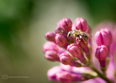 Tiniest of bees (BrettAnderson_) Tags: pink portrait baby flower macro green nature leaves minnesota yellow canon bug insect outside outdoors prime wings branch zoom sting small cities minneapolis twin bee lilac jacket honey pollen tamron 90mm mn antennas