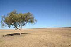 Hay Plains (Bemaia) Tags: tree australia nsw sa hay plains southaustralia riverina hayplains