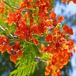 Red blossoms on a tree in Muang Boran (Ancient Siam) in Samut Prakan, Thailand thumbnail