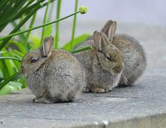 Young Rabbits- kits (J*A*L) Tags: rabbit zoom young kits kit nikond3 tamron150600