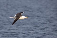 kleine mantelmeeuw (judithvanagthoven) Tags: bird nature water nederland vogels natuur sigma mei dieren meeuwen woerden 2015 zilvermeeuw 150500mm