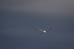 Gull (kuhnmi) Tags: sky bird nature birds animal animals fly flying russia wildlife gull gulls natur vgel mwe mwen vogel fliegen kamchatka russland