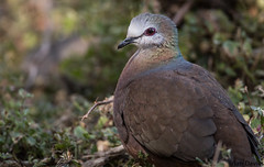 Lemon Dove (uropsalis) Tags: dove ethiopia oromia lemondove columbalarvata columbid debrelibanosmonastery
