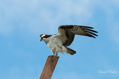 Male Osprey landing sequence - 13 of 13