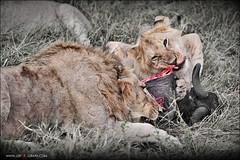 Breakfast (jzsfotografix) Tags: africa kenya eating lion safari masaimara