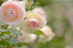 "rose, ""Pierre de Ronsard"" (snowshoe hare*) Tags: pink flowers rose  pierrederonsard frenchrose"