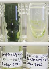 ORNG0387 (David J. Thomas) Tags: culture cave arkansas algae microbiology slant fairfieldbay agar cyanobacteria phycology lyoncollege bg11 indianrockcaves photobiont phycobiont