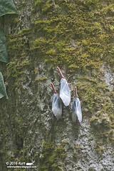 Pyrops sultanus IMG_7330 copy (Kurt (OrionHerpAdventure.com)) Tags: lanternbug fulgoridae lanternfly pyrops pyropssultanus