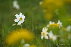 Bello come un narciso! (EmozionInUnClick - l'Avventuriero's photos) Tags: bokeh fiore narciso