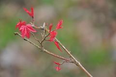 Acer palmatum 'Deshojo' (Pattern Interrupt) Tags: spring maple japanesemaple acer  oxfordshire palmatum    deshojo batsfordaboretum visitbatsford