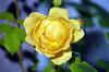 Yellow Rose (tonny.froyen) Tags: flowers flores flower macro fleur beautiful rose fleurs garden botanical petals pretty blumen petal stunning bloom blooms fiori blomst blomster molde picoftheday floweroftheday flowermagic flowerslovers rbnett flowerstagram flowersofinstagram