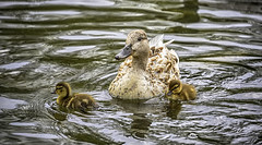 Mother Duck with ducklings (jsleighton) Tags: pond babies mother ducks ducklings newburgh downingpark