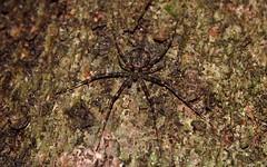 Tamopsis brisbanensis (dustaway) Tags: nature rainforest australia camouflage nsw arthropoda rotarypark arachnida araneae araneomorphae australianspiders northernrivers crypsis hersiliidae tamopsisbrisbanensis spideronbark