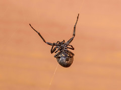 Abseiling! (abritinquint Natural Photography) Tags: wild summer germany garden spider nikon wildlife 300mm telephoto nikkor f4 pf trier abseil tc14eii 300mmf4 teleconvertor d7200 pfedvr