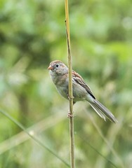 Field Sparrow (swmartz) Tags: nature birds newjersey nikon hamilton sparrow veteranspark mercercounty