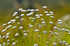 Eriocaulaceae (aracnologo) Tags: plant flores flower plantas flor cerrado blume sempre federal viva distritofederal distrito brazlndia sempreviva eriocaulaceae