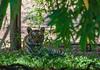 Indian Bengal Tiger (Gokul [amvj]) Tags: life park wild india animals rat snake indian tiger gandhi maharashtra crow pune rajiv zoological gaur nikon70300mmvr nikond7000