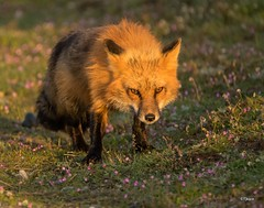 Early Riser on the Prowl (T0nyJ0yce) Tags: light wild sun animals sunrise wildlife hunting explore fox glowing wildflowers predator magical foxes stalking goldenhour prowl redfox natureisamazing specanimal firstlightoftheday canon7dmarkii tamron150600