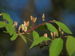 Bltezeit Mai (bratispixl) Tags: nature germany jahreszeit oberbayern mai frhling baumblte chiemgau traunreut blattfarben stadtrundweg bratispixl