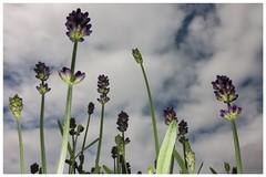 Heads in the Clouds (yarin.asanth) Tags: flowers blue light sky white flower clouds heaven rainyday dreams heads flashlight daydream yarinasanth gerdkozik