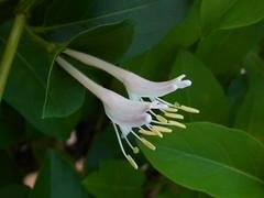 They are always twins (nofrills) Tags: flowers plants plant flower green floral whiteflower flora honeysuckle shrub whiteflowers japanesehoneysuckle whiteandgreen