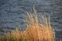 DSC_0332 (steindragsund) Tags: autumn river straws