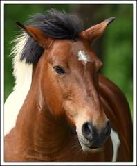 portrait (guiguid45) Tags: nature cheval nikon animaux sauvage loiret mammifres 500mmf4 d810 quids