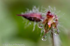 20160604_4255_Waterdruppels (Rob_Boon) Tags: plant flower macro waterdrops geranium waterdruppel reigersbek robboon