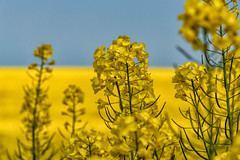 Raps (mirko.borgmann) Tags: nature beauty yellow warm bokeh pflanze gelb raps