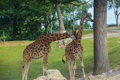 Giraffe (Alessandra Arcari) Tags: park parco animal alberi estate safari giraffe amici animali giraffa coccole savana giungla