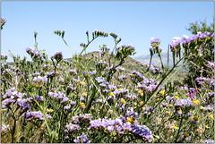 Sea Lavender (Mabacam) Tags: mountain mountains nature walking landscape outdoors countryside spain view hiking country andalucia trail moorish vista wildflowers 2016 statice sealavender sayalonga canillasdealbaida