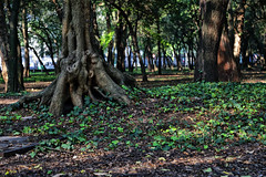 The Mexican Shire (Jos Ramn de Lothlrien) Tags: naturaleza verde nature shamrock chapultepec trebol treboles mxico ciudaddemxico shamrockhunt