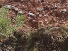 Cuc - Burrowing Owl (Athene cunicularia) (Pedro Genaro Rodriguez) Tags: athene owls athenecunicularia burrowingowl cuc sierradebahoruco bahorucomountainrange