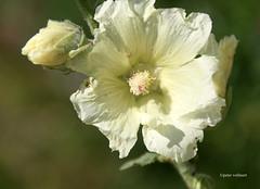 2-IMG_3394 (hemingwayfoto) Tags: alcearosea blhen blume blumen botanik facebookgrus flora garten natur panther pflanze pflanzenart stockrose weis zierpflanze