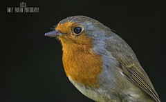 #344 of 365 - Robin - 240716 (Emily_Endean_Photography) Tags: robin macro nature wildlife bird animal nikon details beauty beautiful bournemouth dorset