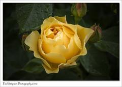 Yellow Rose (Paul Simpson Photography) Tags: rose flower yellowrose nature paulsimpsonphotography photoof photosof imageof imagesof leaf leaves rain water flowers petals lovelyflowers