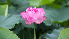 201608_05_2560 (noriko_v) Tags: lotus flower summer nature