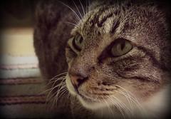 il mio amore (MaPeV) Tags: morris bellolindoguapetn gatos cats chats kawaii felin neko gatti gattini gattoni tabby chat katze gato kitty tabbyspoted powershot canon g16