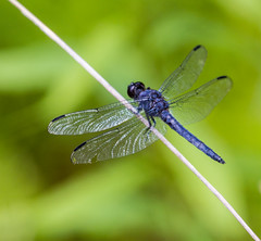 Blue Dragonfly At Rest (Catskills Photography) Tags: animal dragonfly insect bokeh hbw nature wildlife canon70300mmllens