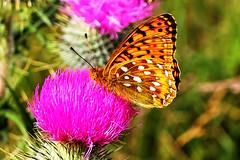 Dark Green Fritillary underside (Fr Paul Hackett) Tags: butterfly sunshine wooodland fritillary