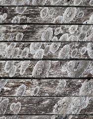Mosekledd -|- Mossy wall (erlingsi) Tags: wall norge moss gray fungus nor vegg mose grå eikrem treverk mosete