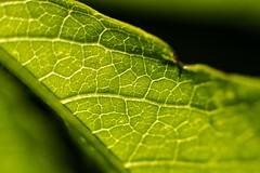 Macro Young Vine Leaf (Lens Daemmi) Tags: macro leaf vine blatt wein markro