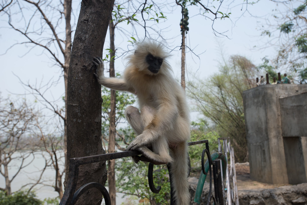 Golden Languar Monkey