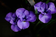 Iris (Star Rush) Tags: iris color contrast purple rokkor fujix fujixpro1