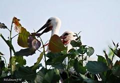 Cicogne bianche - Ciconia ciconia (Edmondo Rizzo) Tags: uccelli ciconiaciconia cicognabianca larizza oasidibentivoglio animaliliberi